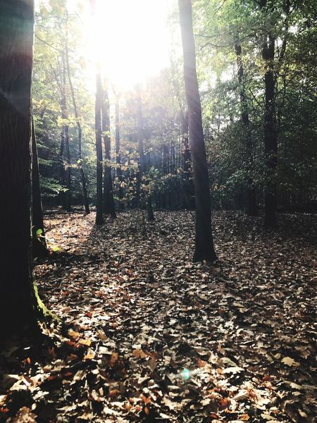 Forest Tree Autumn Nature Leaf Tranquility Change Tranquil Scene Tree Trunk Sunlight Sunbeam Beauty In Nature WoodLand Day Scenics No People Outdoors Growth Landscape Branch