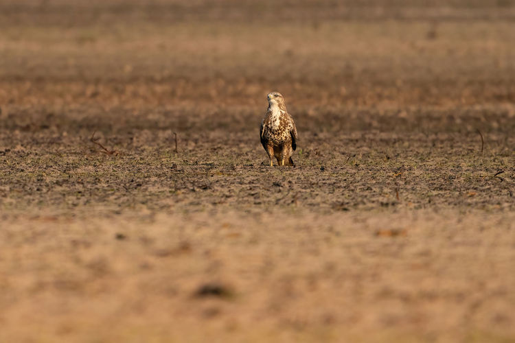 Buzzard bird of prey sits in a pasture in brown sand, buteo buteo. in front vieuw.
