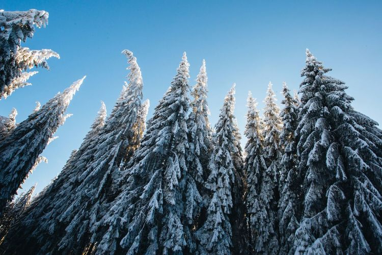 Cold Temperature Sky Winter Snow Plant No People Nature Beauty In Nature Low Angle View Tree Day Tranquility Environment Scenics - Nature Tranquil Scene Pine Tree Clear Sky Frozen Coniferous Tree Snowcapped Mountain Pine Woodland Sunlight Snow Covered Blue Sky Nature