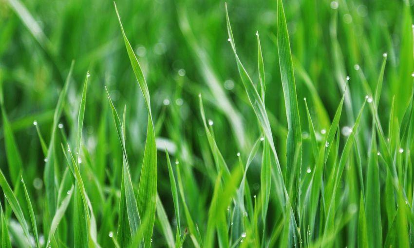 Water Droplets #grass #Morning Dew Dew Green Leaves Taking Photos Feeling Creative OpenEdit EyeEm Best Shots Freshness EyeEm Nature Lover Nature
