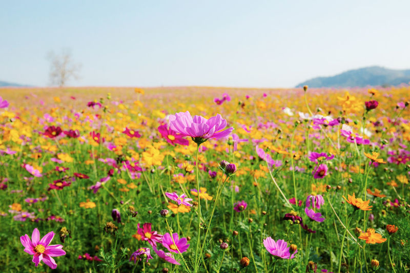 Cosmos of colorful in field with the sky. ASIA Asian  Autumn Background Beautiful Beauty Bloom Blooming Blossom Blue Botany Bright Color Colorful Cosmos Countryside Environment Field Fields Flora Floral Flower Flowers Fresh Garden Grass Green Landscape Meadow Nature Outdoor Park Pastel Pink Plant Purple Retro Rural Sky Spring Summer Sunlight Sunny Sunrise Sunset Thailand Vintage White Wild Yellow