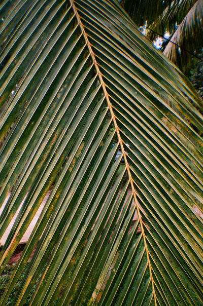 Film Film Photography Analogue Photography Analog Photography Photo Photooftheday Magazine Palm Local Summer Travel Photography Travel Traveling Wild Travel Destinations SriLanka Jungle Guest Leaf Nature Growth Outdoors Green Color No People Day Beauty In Nature Close-up Tree Freshness EyeEmNewHere