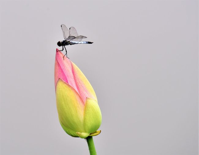 Close-Up Of Insect On Flower Against Gray Background