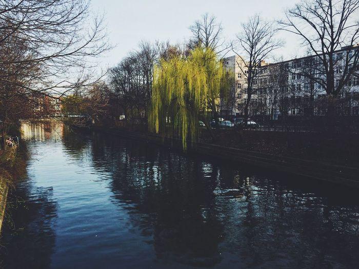 Berlin Willow