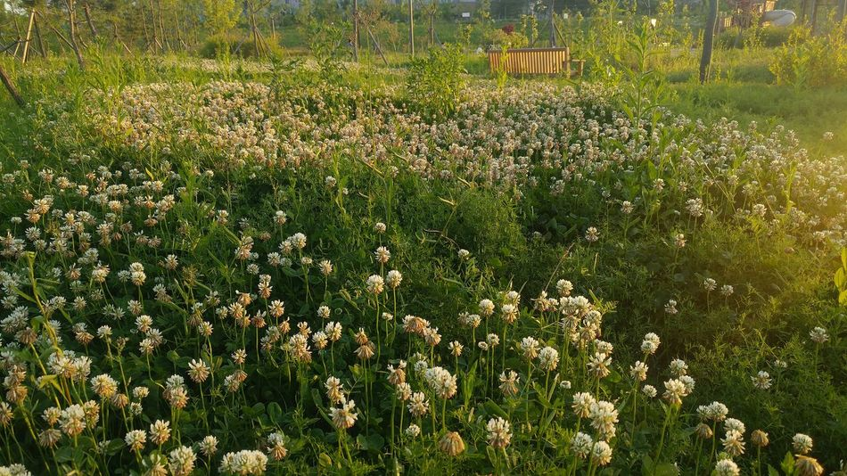 Clover Field Grass Nature Growth Field Outdoors No People Day Green Color Beauty In Nature Tranquility Flower Tree Freshness