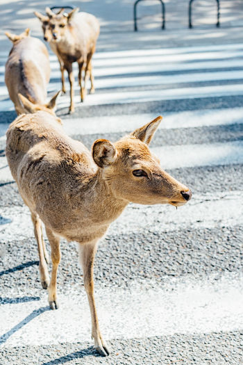 View of deer standing on road
