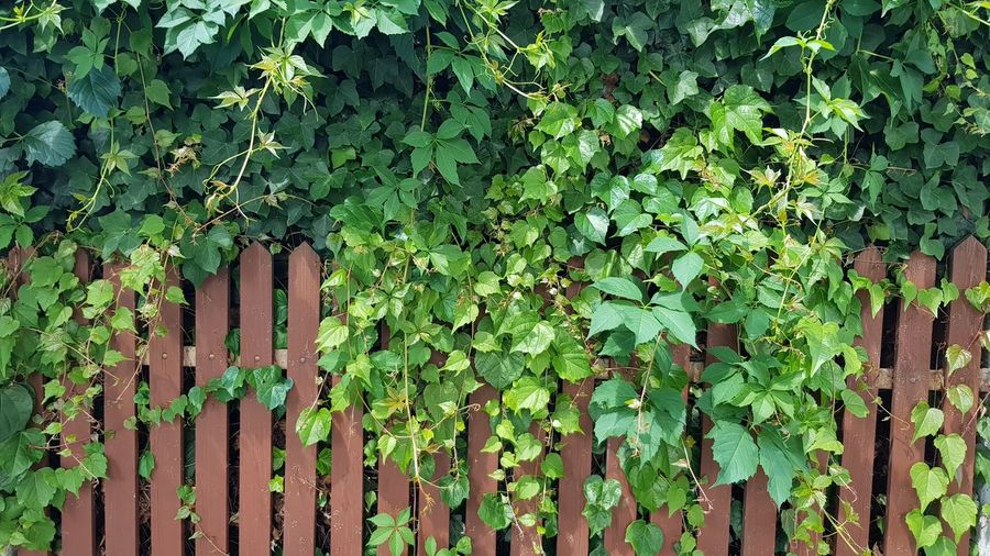 Leaf Ivy Backgrounds Protection Safety Creeper Close-up Plant Green Color