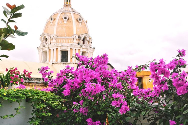 Even on a grey day the city will stay colorful. Flower Architecture Built Structure Pink Color Blooming Outdoors Day Catholic Church Chapel Colorful City View From A Rooftop Urbanity Cartagena Colombia Place Of Worship Church Colorful City View