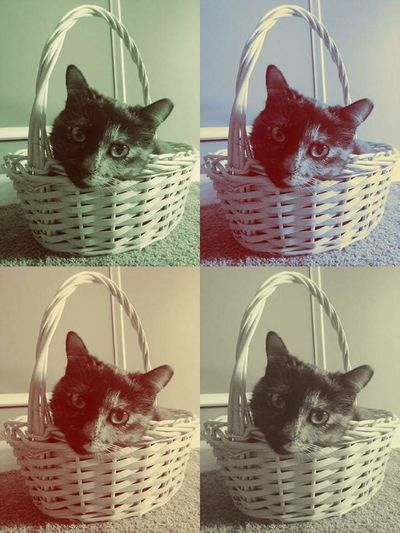 Cuddles 🐈 In A Basket Silly Cat  Chunkymonkey Always Hungry Happy Hanging Out Cuddles Loving Woven Basket Kitty Head