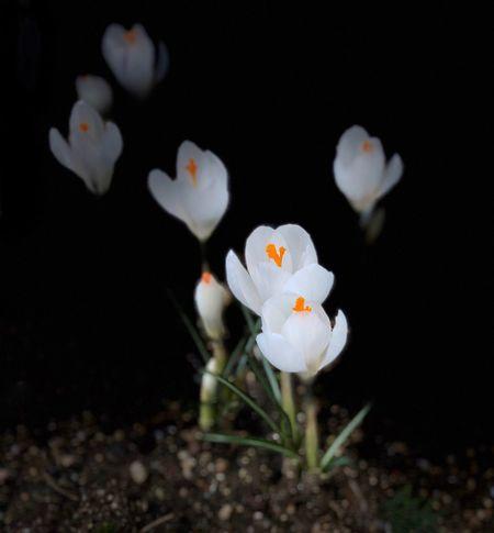 Flower White Color Petal Fragility Freshness Flower Head Growth
