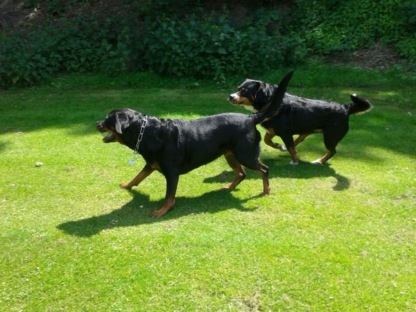 Hunderunde Freya Mit Rocky My Dogs Are Cooler Than Your Kids Rottweiler Appenzeller Bernersennen Playing With The Animals Hunde Liebe ♡