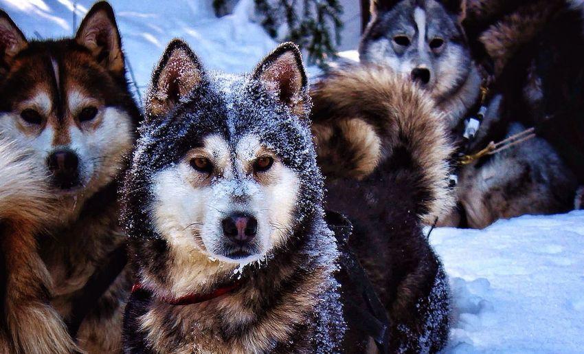 Siberian Huskies Relaxing On Snowcapped Field