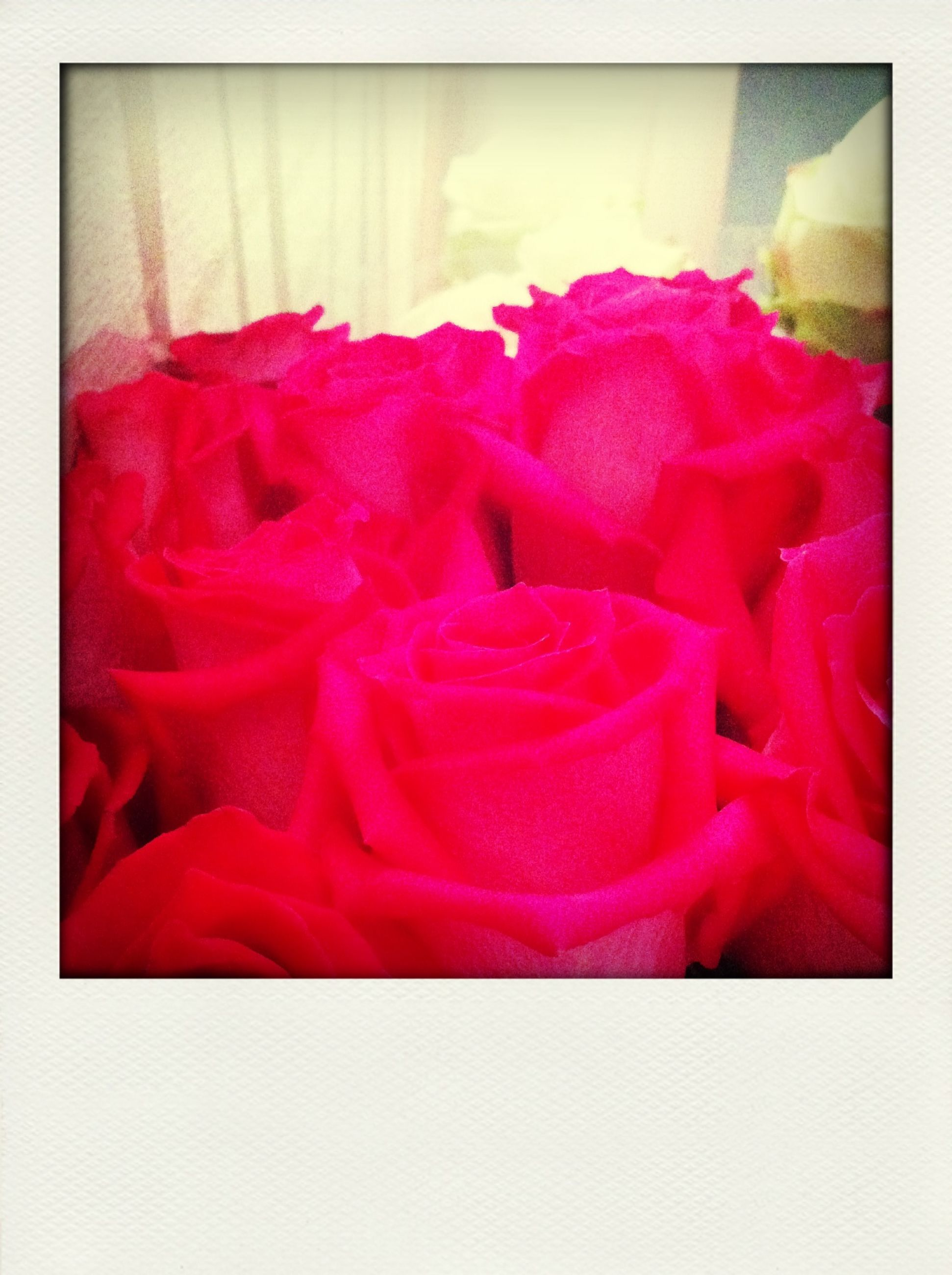 transfer print, indoors, auto post production filter, close-up, flower, rose - flower, red, pink color, still life, petal, freshness, rose, no people, flower head, fragility, table, pink, softness, high angle view, studio shot