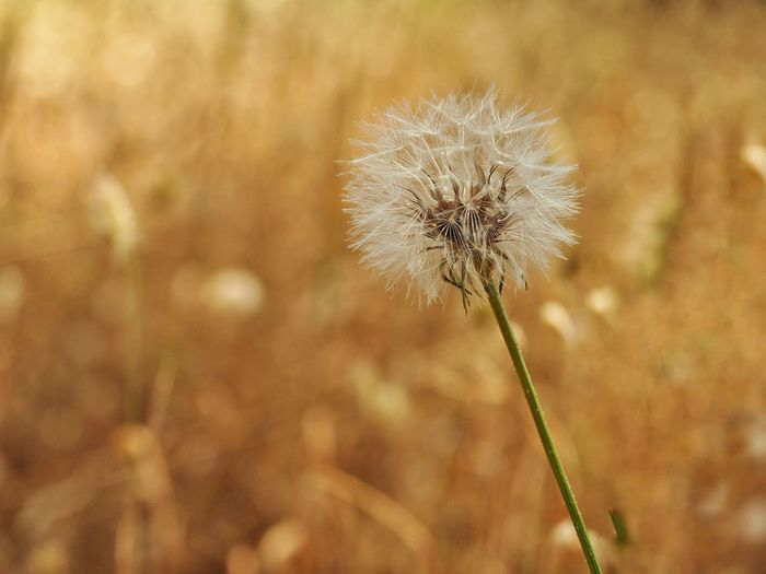 Close-Up Of Wilted Dandelion On Field