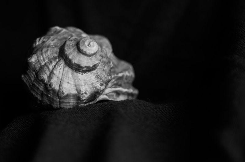 Nautilus Animal