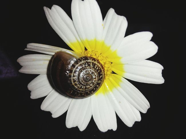 Flower Head Black Background Flower Yellow Petal Beauty Studio Shot Close-up Pistil Plant Life Blossom Hibiscus Stamen Rhododendron Passion Flower Pollen Cherry Blossom Gazania Single Flower Blooming Exotic In Bloom Gerbera Daisy Daffodil Daisy Day Lily Apple Blossom Sunflower Focus Lily
