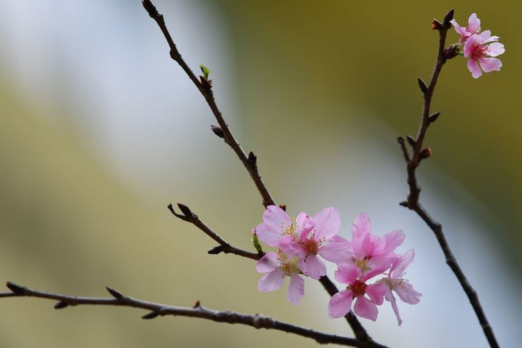 There are no secrets to success. It is the result of preparation, hard working and learning fro failure. Flower Head Tree Flower Branch Perching Springtime Pink Color Blossom Close-up Plant Cherry Blossom