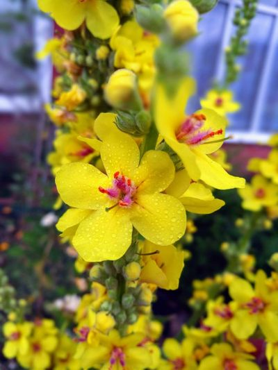 yellow beauty Mullein Great Mullein Native Plant End Tip Nature Outdoors Close Up Beauty In Nature Flower Head Flower Yellow Petal Orchid Leaf Living Organism Multi Colored Close-up Plant Flowering Plant Botanical Garden Botany In Bloom Blossom Pollen Bud Plant Life Wildflower Pistil Summer Road Tripping