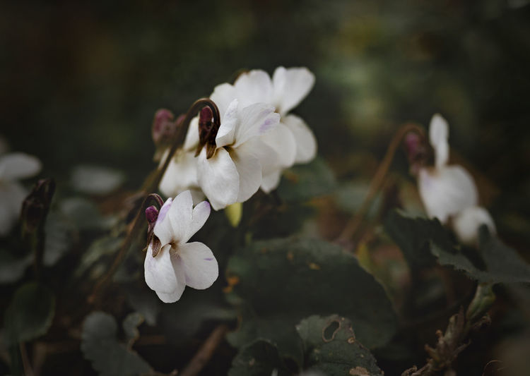 Viola Flower Vulnerability  Fragility Plant Flowering Plant White Color Growth Freshness Beauty In Nature Petal Close-up Focus On Foreground Inflorescence Nature No People Flower Head Day Selective Focus Tree Branch Springtime Outdoors Cotton Plant Softness Cherry Blossom