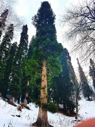 Pine Tree Snowing Towering Trees Cold Temperature Forest Winter Tree Nature Tree Bark On Focus Wilderness Low Angle View Growth Towering Trees Beauty In Nature Snow Mountain Branch Green Color Scenics Outdoors Tranquil Scene Tranquility Landscape Tree Trunk Sky No People Day Shades Of Winter
