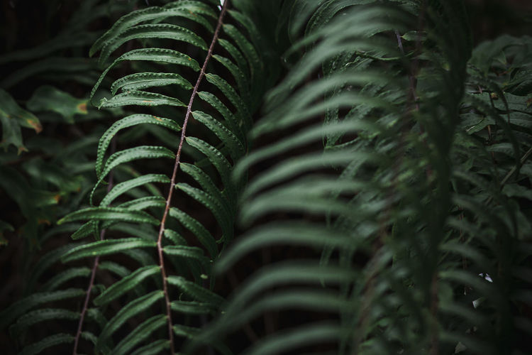 Growth Green Color Plant Leaf Plant Part Close-up Beauty In Nature Nature No People Selective Focus Day Fern Outdoors Botany Tranquility Freshness Fragility Natural Pattern Vulnerability  Full Frame Palm Leaf