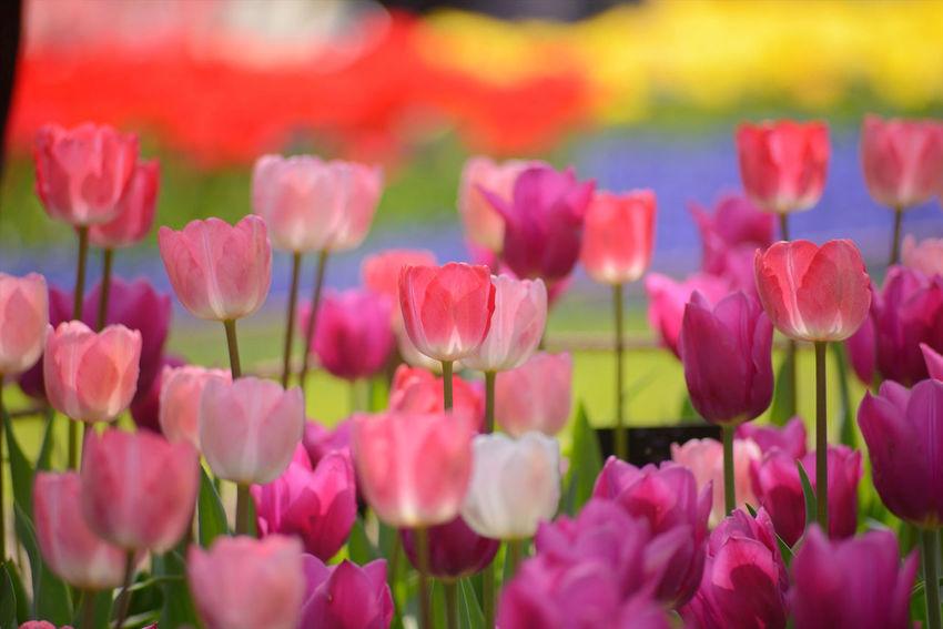 Tulip - Showa Kinen Park, Tokyo, Japan Pantone Colors By GIZMON Flower Flowers Tulips