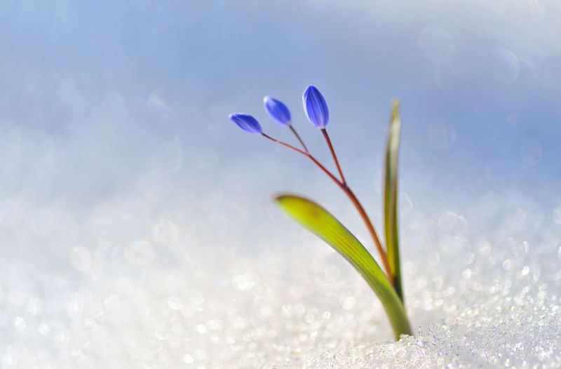 Blue snowdrop, Scilla bifolia in snow Beauty In Nature Blue Snowdrop Close-up Crocus Day Flower Flower Head Fragility Freshness Growth Macro Nature No People Outdoors Petal Plant S Scilla Bifolia Sky