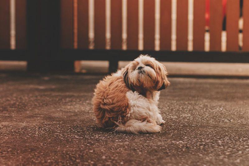 Pets Dog Sitting Cavalier King Charles Spaniel Puppy Cute Animal Themes