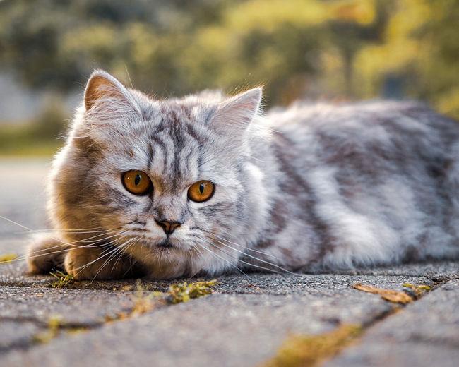 Persiancat Catsofinstagram Catsofeyeem Kucing Anggora Cat Kucing Persia Meow Cat