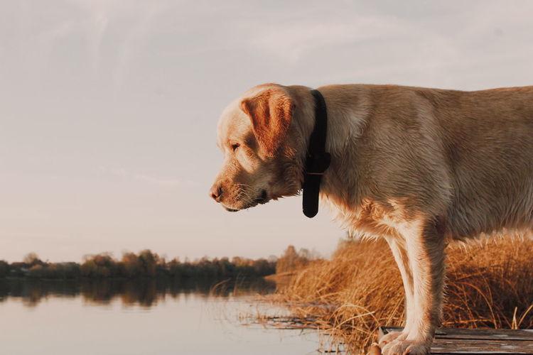 Water Pets Dog Side View Profile View Sky Beagle Lake Purebred Dog Golden Retriever Retriever Labrador Retriever Puppy