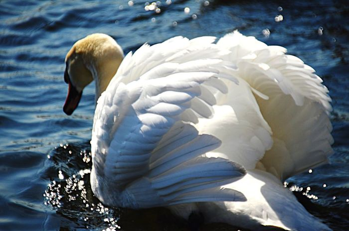 Beauty and grace! KristinaHopfi Photography Water Swan Lake Bird Nature Animals Beauty Grace Feathers One Animal Animal Wildlife Close-up