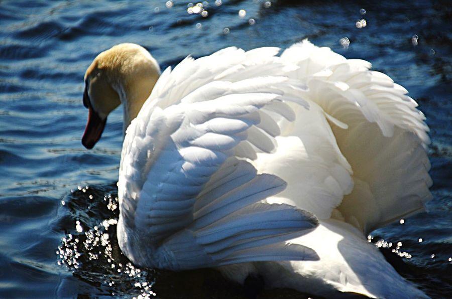 Beauty and grace! Water Swan Lake Bird Nature Beauty In Nature Animals Beauty Grace Feathers EyeAmNewHere EyeEmNewHere