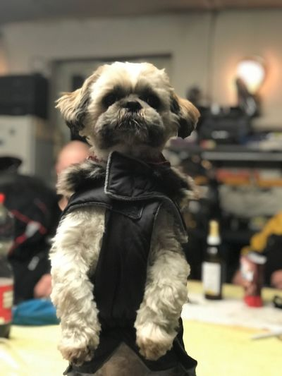 Cute dog on the table Dogs Vor Shirt Siting Lucking Up Tisch Süßer Hund Süßer Hund Mammal Canine Dog Pets One Animal Domestic Animals Domestic Shih Tzu Cute No People Lap Dog Small Focus On Foreground Indoors  Vertebrate