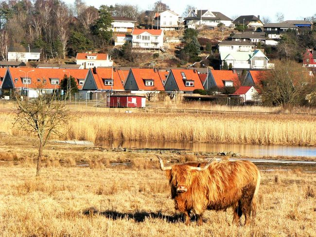Echoes from the spring I moved here. Was searching for a beach, found this on the way there.. Cityscapes Urban Nature Cow Expect The Unexpected  Thisisgothenburg