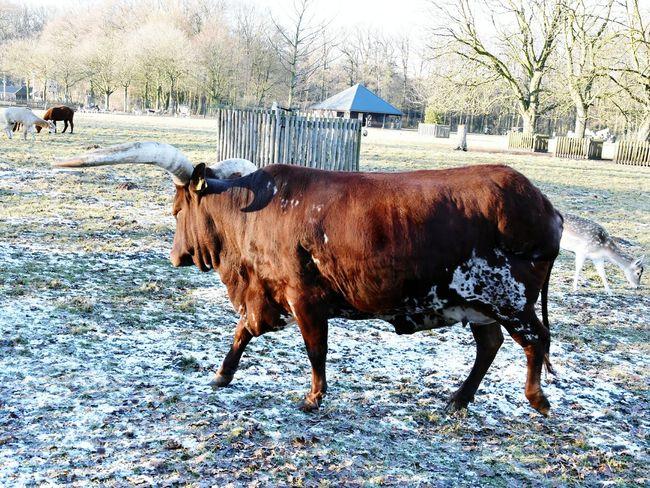 Watusi Cattle Longhorn Cattle Bull Animal Park Warande Park Helmond Wintertime Frost Frozen Adapted To The City