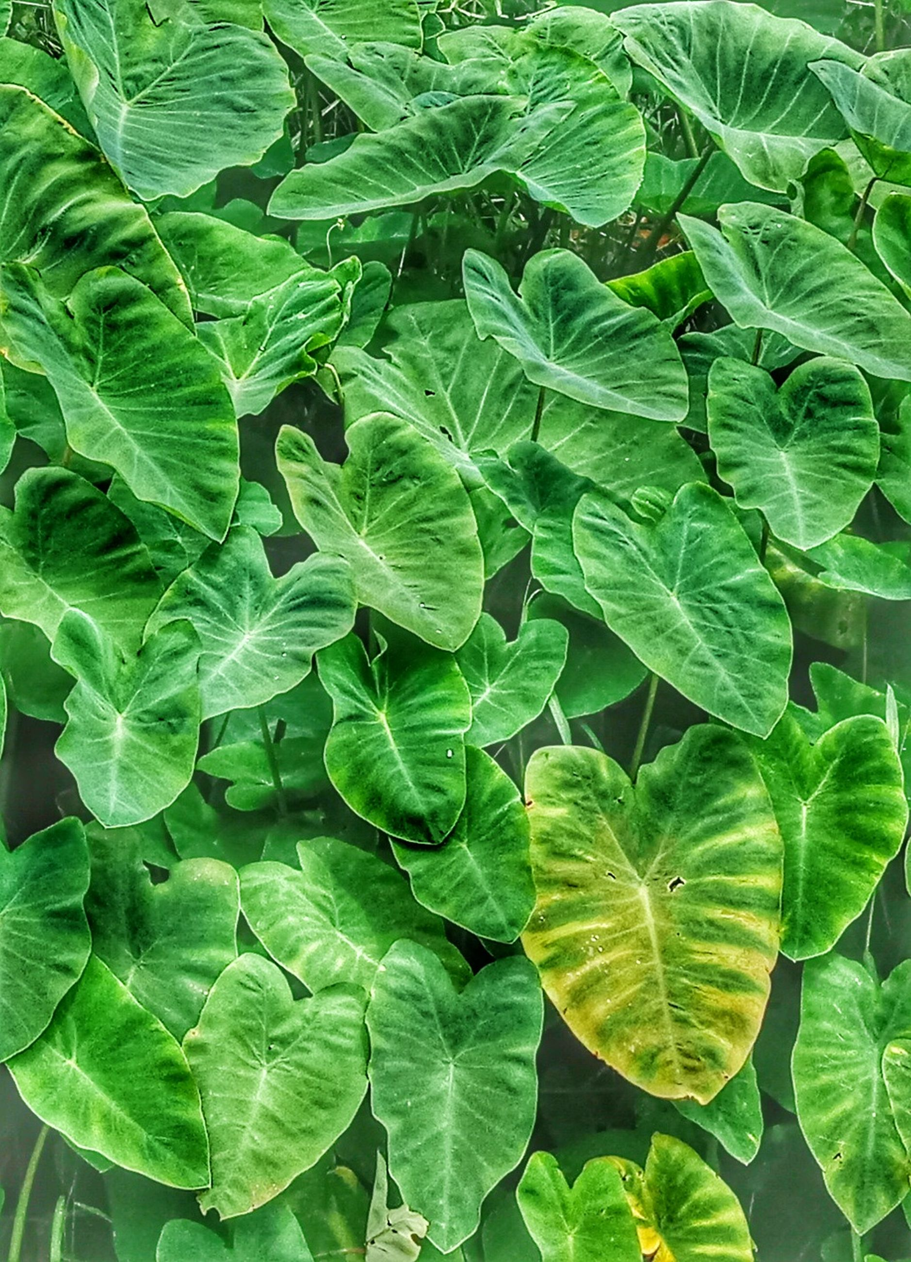 leaf, plant part, green color, growth, plant, freshness, nature, full frame, beauty in nature, no people, day, close-up, high angle view, vulnerability, fragility, outdoors, vegetable, food and drink, backgrounds, food, leaves