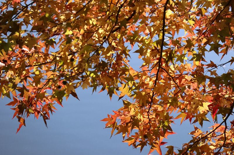 Autumn Glory Autumn colors Tree Autumn Branch Plant Beauty In Nature Leaf Plant Part Low Angle View Change Nature Growth No People Sky Tranquility Day Outdoors Maple Tree Maple Leaf Sunlight Orange Color