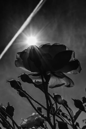 Black And White Black & White Blackandwhite Photography Rose🌹 Sunrays Lighttrails Flower Kralovsky Chlmec