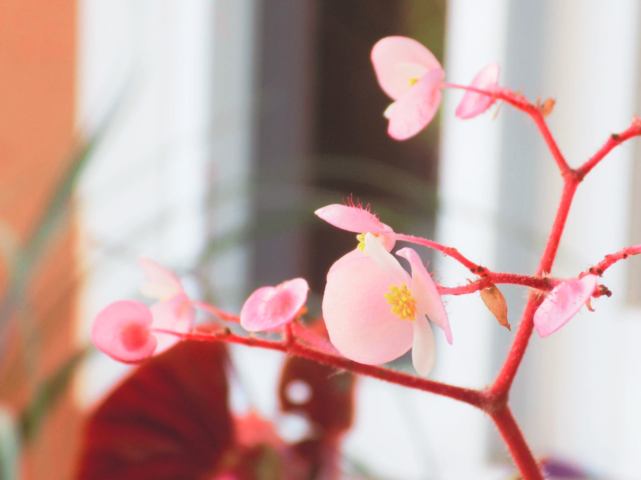 flower, growth, petal, beauty in nature, day, close-up, fragility, nature, pink color, freshness, no people, outdoors, tree, flower head, branch, blooming