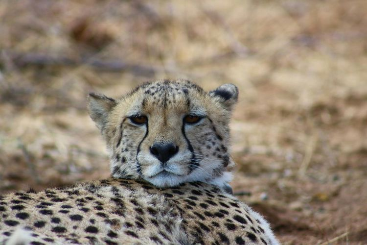 Portrait Of Cheetah Relaxing On Field