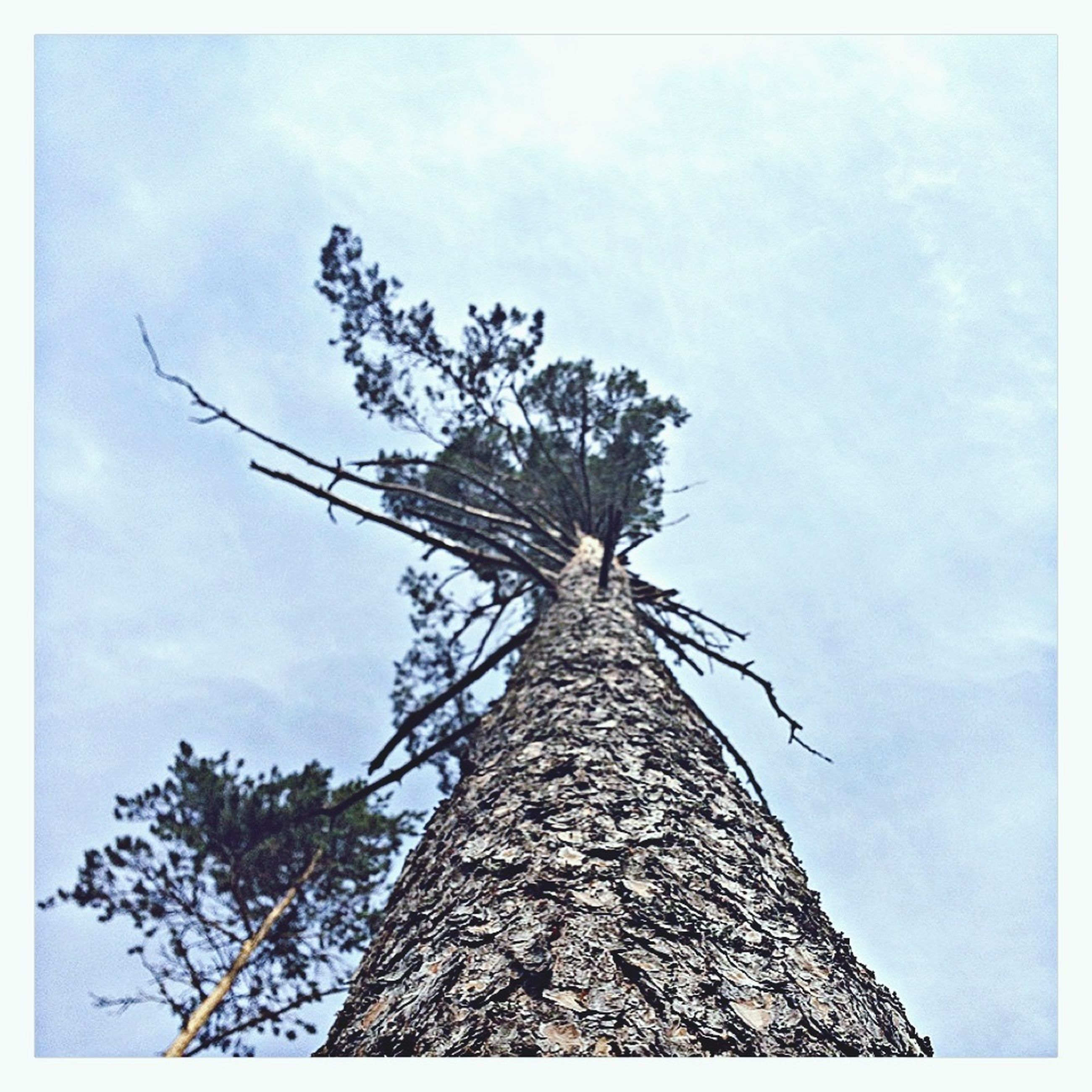 low angle view, sky, tree, transfer print, tree trunk, auto post production filter, cloud - sky, nature, cloud, growth, tranquility, branch, bare tree, day, outdoors, no people, dead plant, blue, tall - high, single tree