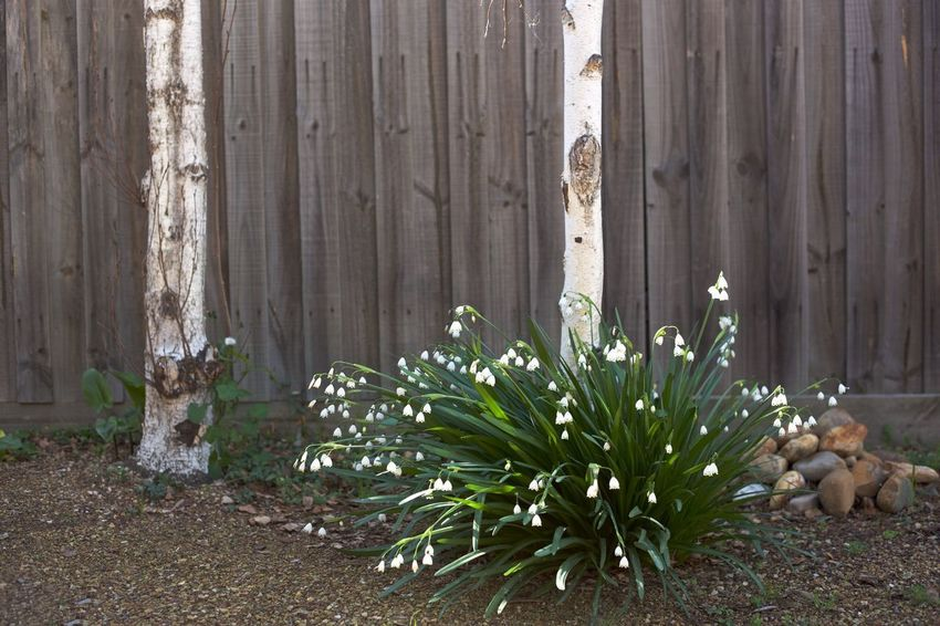 Barrier Beauty In Nature Birch Birchtree Boundary Day Fence Flower Flowering Plant Freshness Front Or Back Yard Growth Nature No People Outdoors Plant Snowdrop Snowdropflower Snowdrops Springtime Vegetable Wood - Material