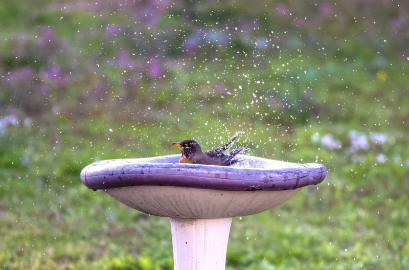 Robin Wildlife
