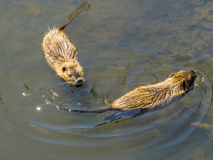 Two muskrats swimming in the water of the Shlossgraben of Wolfsburg Castle Animal Animal Themes Animal Wildlife Animals In The Wild Bird Day High Angle View Lake Mammal Muskrat Musquach Nature No People One Animal Outdoors Rippled Swimming Vertebrate Water Waterfront Young Animal