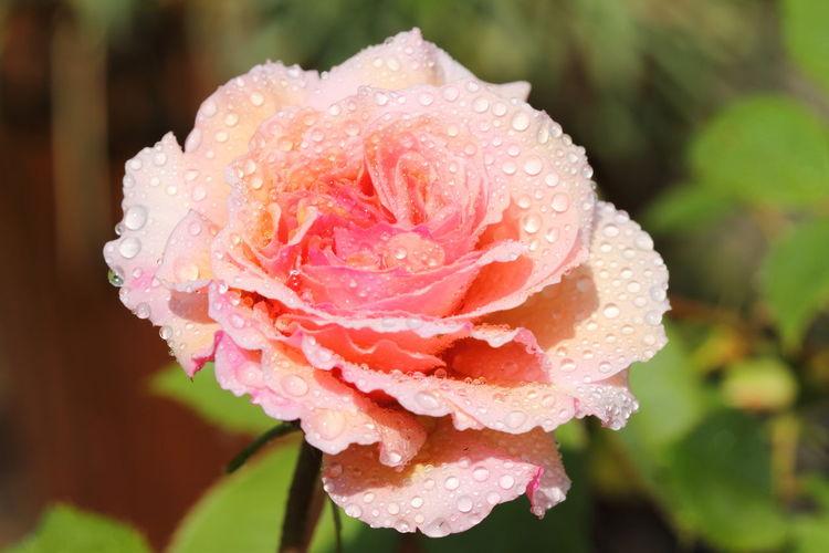 Close-up of wet rose flower