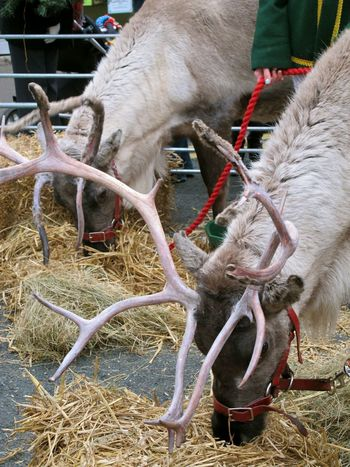 How You Celebrate Holidays by visiting the rrindeers of course. Christmas Christmas Time Reindeer Reindeers Christmasmarket Animals Festive Season Rudolf Red Green Antlers Day Out Eye4photography  EyeEm Best Shots EyeEm Animal Lover EyeEmBestPics EyeEm Gallery Animal Portrait Magical Magic Seasons Greetings Looking At Things Elves Santa