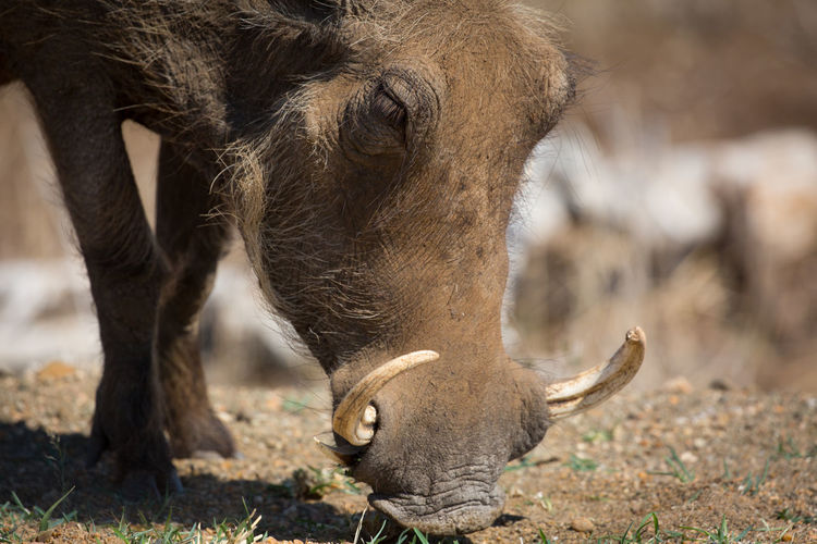 Close-up of warthog on field