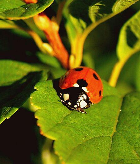 Nature Of Sweden Eye4photography  Ladybug Collection Ladybirds 🐞 Ladybug🐞 Bugslife Ladybugs Ladybugs Photography Ladybug Close Up Close-up Close Up Nature Close Up Shoot Close Up Photography Macro Hello World EyeEm Nature Lover EyeEm Best Shots - Nature EyeEm Best Shots Photo Of The Day Pic Of The Day Sweden Nature Stockholm Sweden Sweden Macro