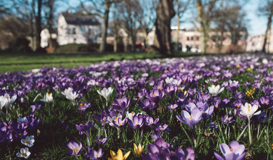 Flowering Plant Flower Plant Freshness Beauty In Nature Vulnerability  Growth Fragility Purple Nature Petal Field Park Day Close-up Selective Focus Land Focus On Foreground Crocus No People Iris Flower Head Outdoors Springtime Flowerbed Springtime Decadence