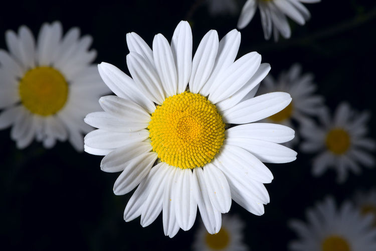 Close-up of white daisy flower against black background